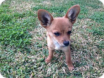 Pomeranian/Chihuahua Mix Puppy for adoption in Irvine, California - Tiny TEDDY