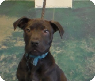 Border Collie/Jack Russell Terrier Mix Puppy for adoption in Reno, Nevada - Twister