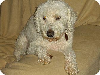Poodle (Standard)/Poodle (Miniature) Mix Dog for adoption in Sheridan, Oregon - Prince