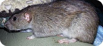 Rat for adoption in Lakewood, Washington - Brownie