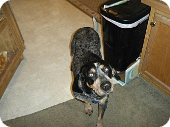 Bluetick Coonhound Dog for adoption in Laingsburg, Michigan - Bella