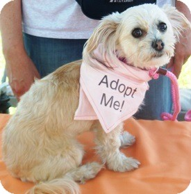 Yorkie, Yorkshire Terrier/Maltese Mix Dog for adoption in Castro Valley, California - Camille