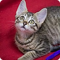 Adopt A Pet :: Pecan Sandy - Chicago, IL