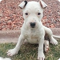 Adopt A Pet :: Spots - Only $95 adoption! - Litchfield Park, AZ