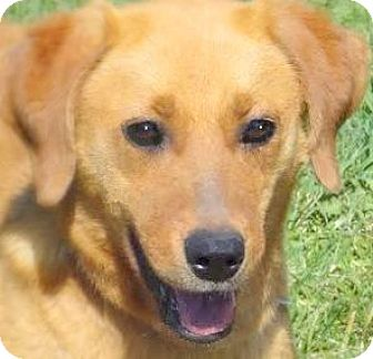 "Labrador Retriever Mix Dog for adoption in Wakefield, Rhode Island - KARMEN(OUR  LAB ""PETITE""!!!"