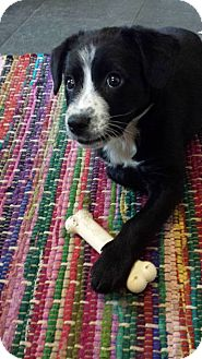 Bearded Collie/Australian Cattle Dog Mix Puppy for adoption in Naperville, Illinois - Lola