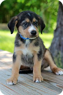 Shepherd (Unknown Type) Mix Puppy for adoption in Waldorf, Maryland - Lucas
