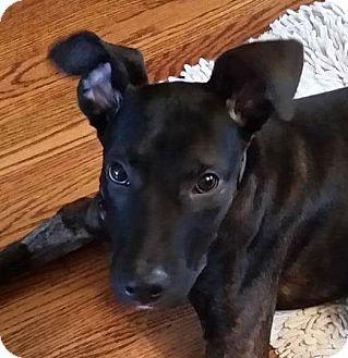 Dutch Shepherd Mix Dog for adoption in Dundee, Michigan - Woody - Adoption Pending