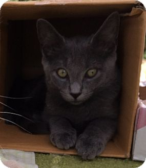 Domestic Mediumhair Kitten for adoption in Philadelphia, Pennsylvania - Chiclet