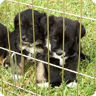 Labrador Retriever/Border Collie Mix Puppy for adoption in Lafayette, Louisiana - 3 brothers