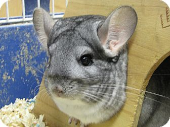 Chinchilla for adoption in Warren, Michigan - Thea