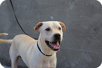 Labrador Retriever Mix Dog for adoption in Middlebury, Connecticut - Benny