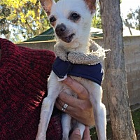 Adopt A Pet :: Norm - Rancho Santa Margarita, CA
