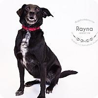 Labrador Retriever/Australian Cattle Dog Mix Dog for adoption in Kansas City, Missouri - Rayna