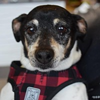 Jack Russell Terrier Mix Dog for adoption in Seattle, Washington - Duncan Sammy Bree