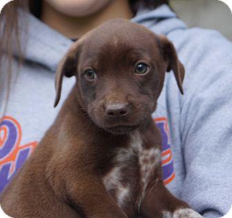 Cocker Spaniel/Labrador Retriever Mix Puppy for adoption in Newark, Delaware - Jazz