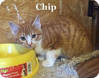 Domestic Shorthair Cat for adoption in Bentonville, Arkansas - Chip