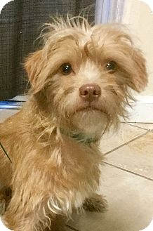 Terrier (Unknown Type, Small)/Border Terrier Mix Dog for adoption in Phoenix, Arizona - Sport