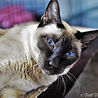 Siamese Cat for adoption in Lakewood, Colorado - Sakira (and bonded 'sister' Myla)