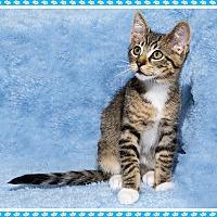 Adopt A Pet :: MoMo - Mt. Prospect, IL