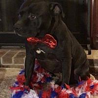 Adopt A Pet :: Midnight - Clarksville, TN