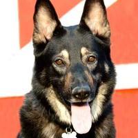 Adopt A Pet :: Diesel - Glen Allen, VA