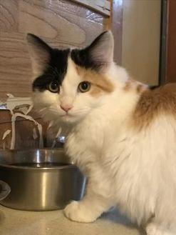 Domestic Mediumhair/Domestic Shorthair Mix Cat for adoption in Mountain Center, California - Lotus