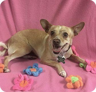 Chihuahua Mix Dog for adoption in La Verne, California - Hazel