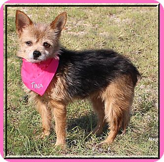 Yorkie, Yorkshire Terrier/Terrier (Unknown Type, Small) Mix Dog for adoption in Hillsboro, Texas - Tina