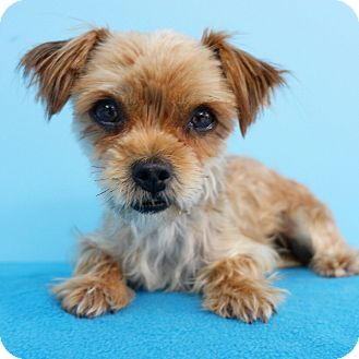 Yorkie, Yorkshire Terrier Dog for adoption in La Mirada, California - Twitty