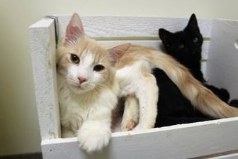 Domestic Longhair/Domestic Shorthair Mix Cat for adoption in Lynchburg, Virginia - Bray