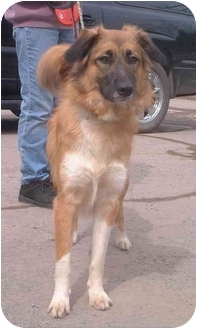 Border Collie Mix Dog for adoption in Honesdale, Pennsylvania - Sandy