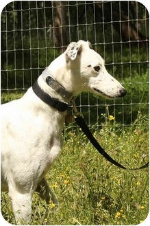 Greyhound/Whippet Mix Dog for adoption in Santa Rosa, California - Clay