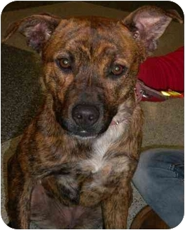 Labrador Retriever/Shepherd (Unknown Type) Mix Dog for adoption in Humble, Texas - Sharon