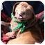 Photo 2 - Labrador Retriever/Beagle Mix Dog for adoption in Cumming, Georgia - India
