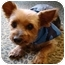 Photo 2 - Yorkie, Yorkshire Terrier Dog for adoption in Ocala, Florida - Scooby