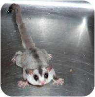 Sugar Glider for adoption in Van Alstyne, Texas - Mystic