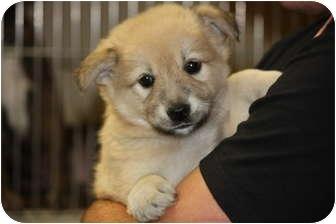 Australian Shepherd/Golden Retriever Mix Puppy for adoption in Prince William County, Virginia - debbie