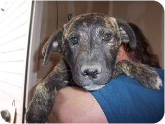 Mastiff/Labrador Retriever Mix Puppy for adoption in Westminster, Colorado - Marble