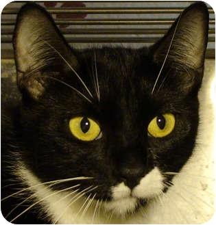 Domestic Shorthair Cat for adoption in El Cajon, California - Kiara