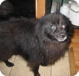 Spitz (Unknown Type, Small) Mix Dog for adoption in Rocky Mount, North Carolina - Chester