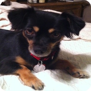 Spaniel (Unknown Type)/Dachshund Mix Dog for adoption in Phoenix, Arizona - Tori
