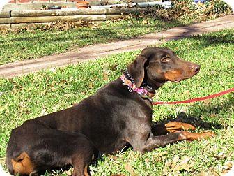 Doberman Pinscher Dog for adoption in killeen, Texas - Rosie