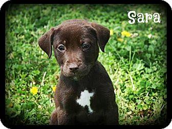 Labrador Retriever Mix Puppy for adoption in Glastonbury, Connecticut - Sara
