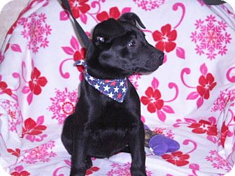 """Pit Bull Terrier Mix Puppy for adoption in New Castle, Pennsylvania - """"Kenzi"""""""
