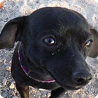 Adopt A Pet :: Chico - Arenas Valley, NM
