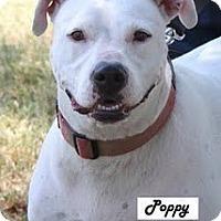 Adopt A Pet :: Poppy - Rowlett, TX