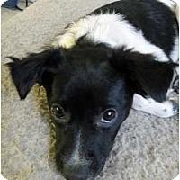 Adopt A Pet :: B Pups - Bitsy - Salt Lake City, UT