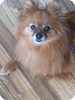 Pomeranian Dog for adoption in Columbus, Nebraska - Bailey