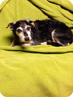 Chihuahua/Yorkie, Yorkshire Terrier Mix Dog for adoption in Chesterfield, Michigan - Chester